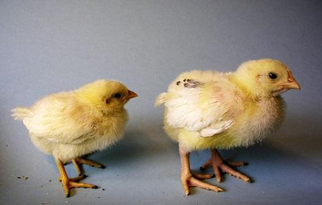 Sản xuất trứng gia cầm công nghệ cao